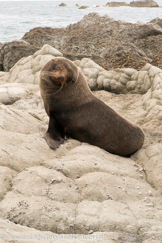 Curious seal near Kaikoura