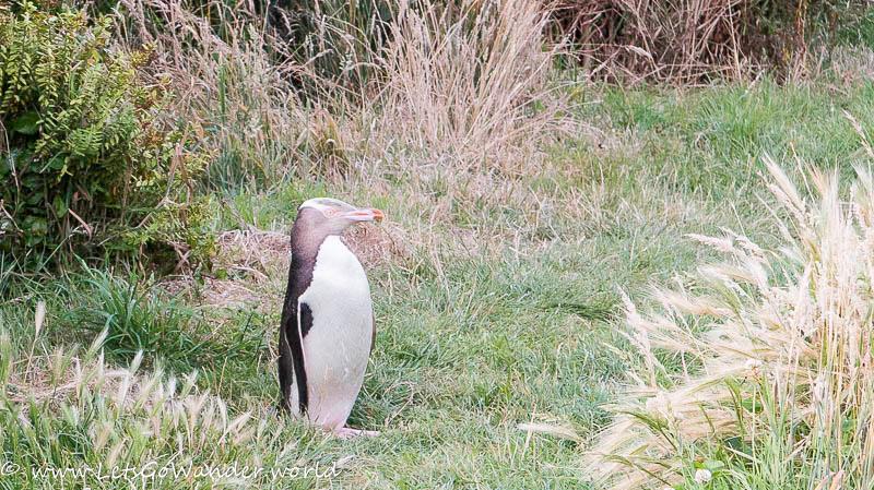 Yellow-Eyed Penguin on the Otago Peninsula