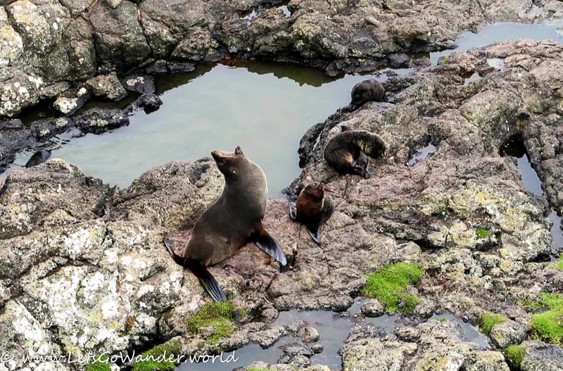 Fur seals with their pups on the Otago peninsula
