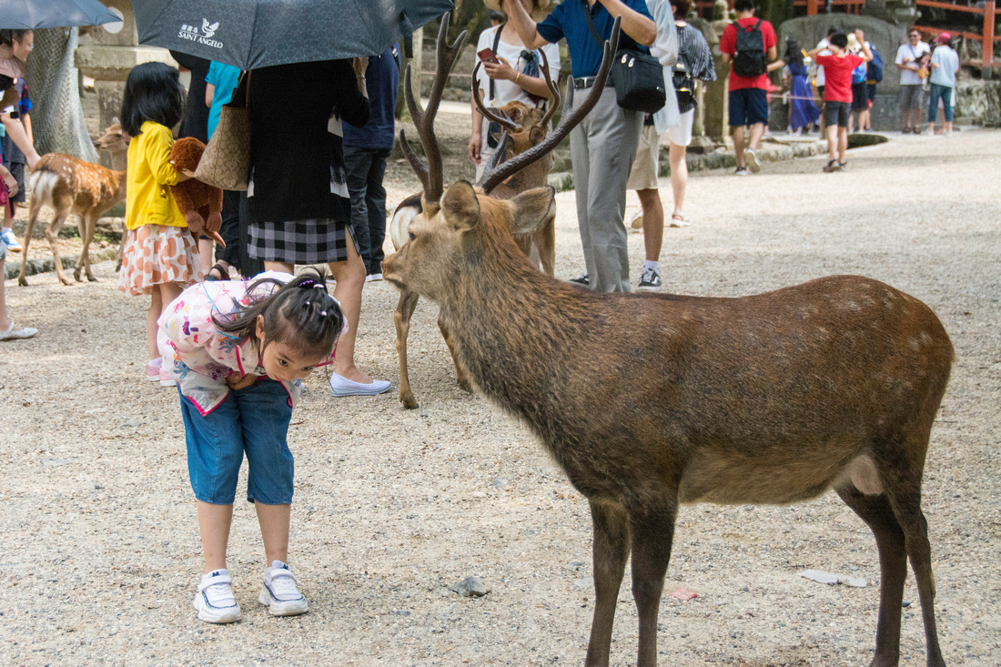Little girl bowing to deer