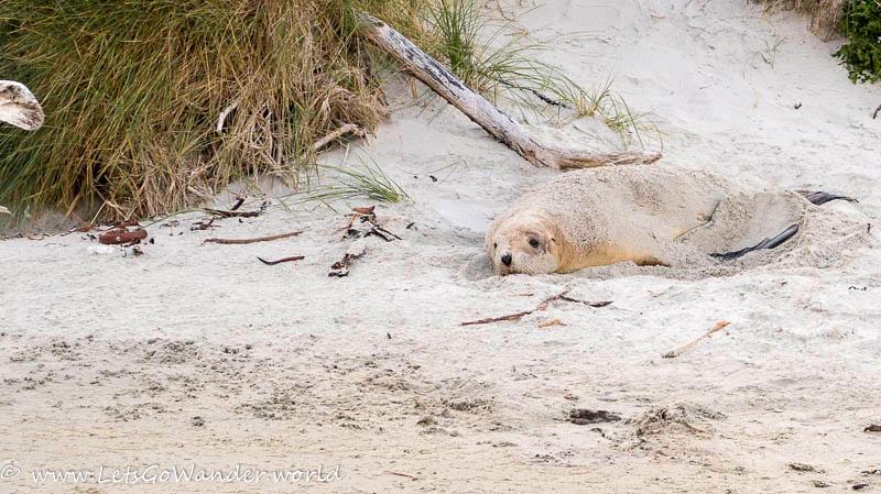 Sand Covered Sea Lion