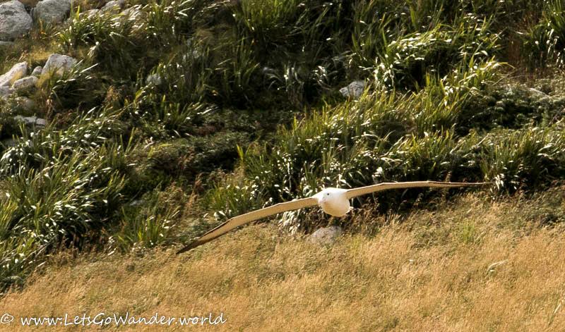 Albatross on the Otago Peninsula