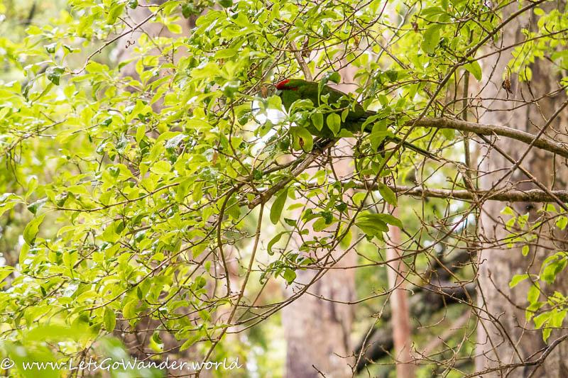 Parrot on Ulva Island