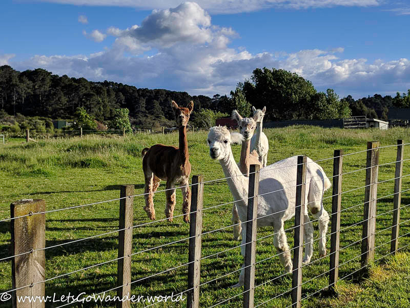 Newly shorn alpacas at The Little Farm in Coromandel where we stayed for 2 nights