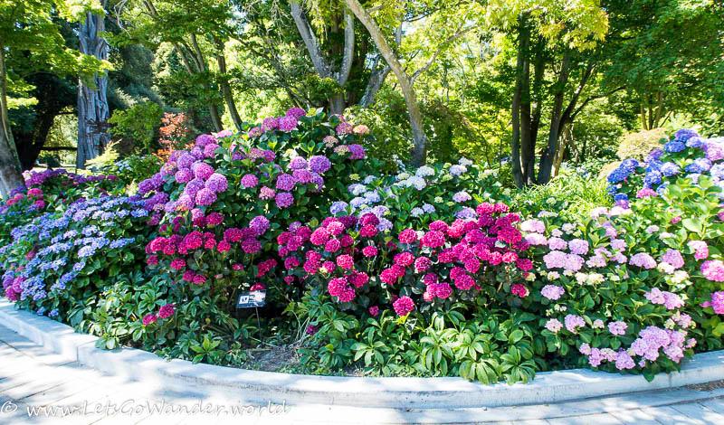 Hydrangeas at the Christchurch Botanic Gardens